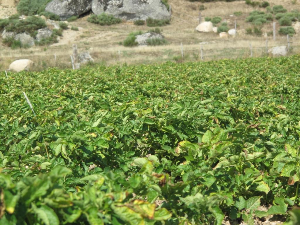 Champ de pommes de terre Pépites de l'Aubrac